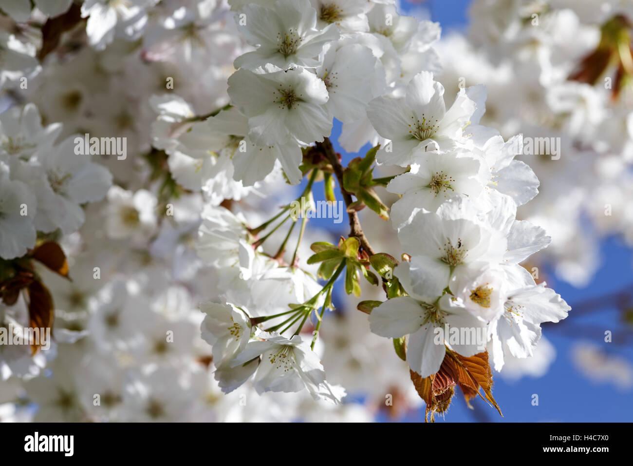 Prunus 'Taihaku' - Stock Image
