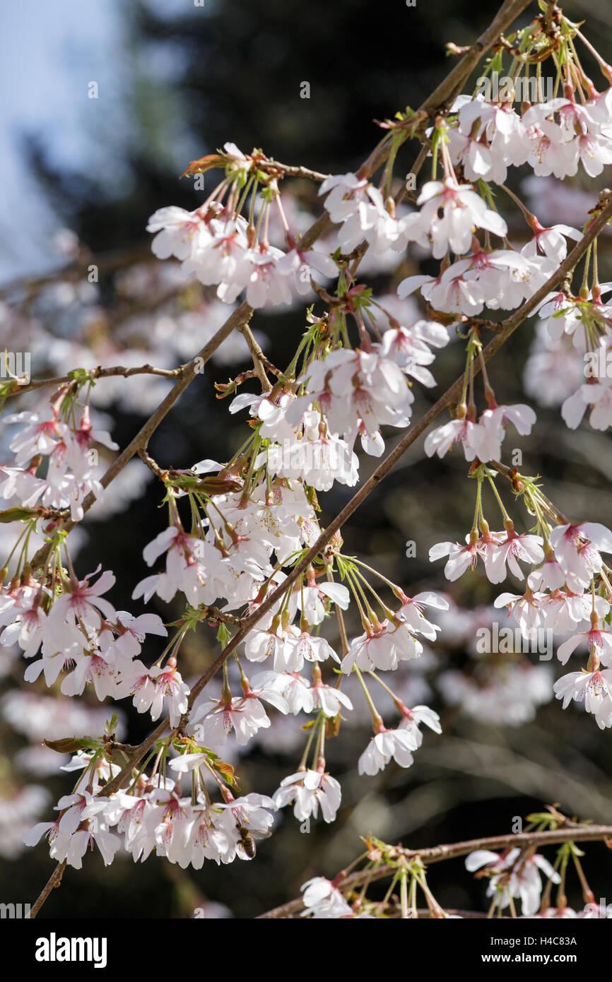 Prunus x yedoensis 'Ivensii' - Stock Image