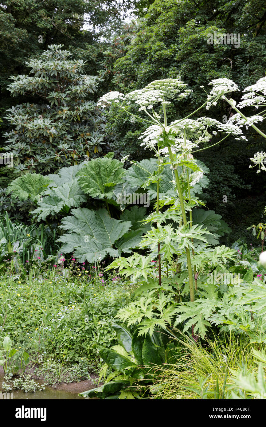 Heracleum mantegazzianum (giant hogweed, cartwheel-flower, giant cow parsnip, hogsbane or giant cow parsley) Stock Photo