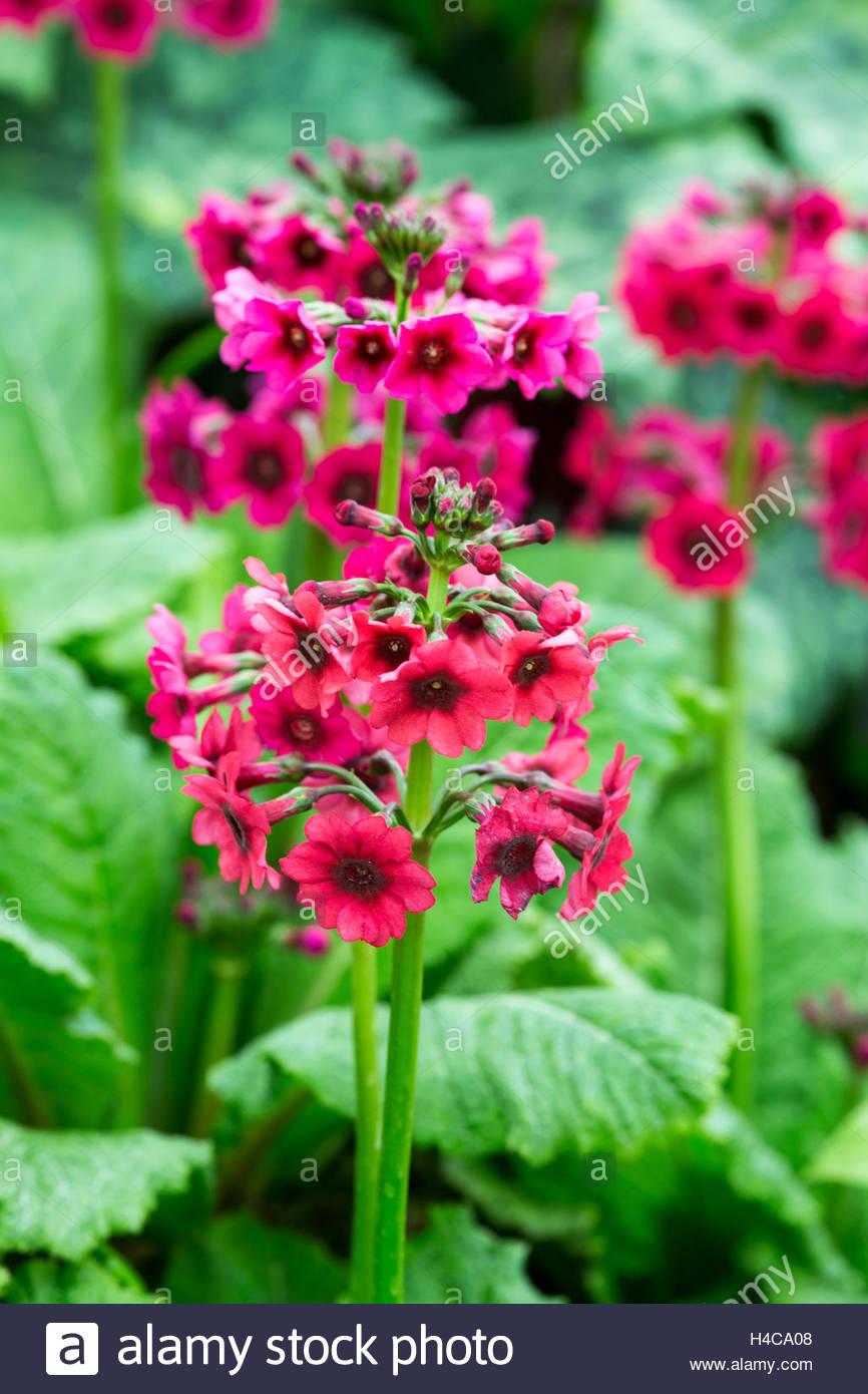 Primula japonica 'Miller's Crimson' - Stock Image