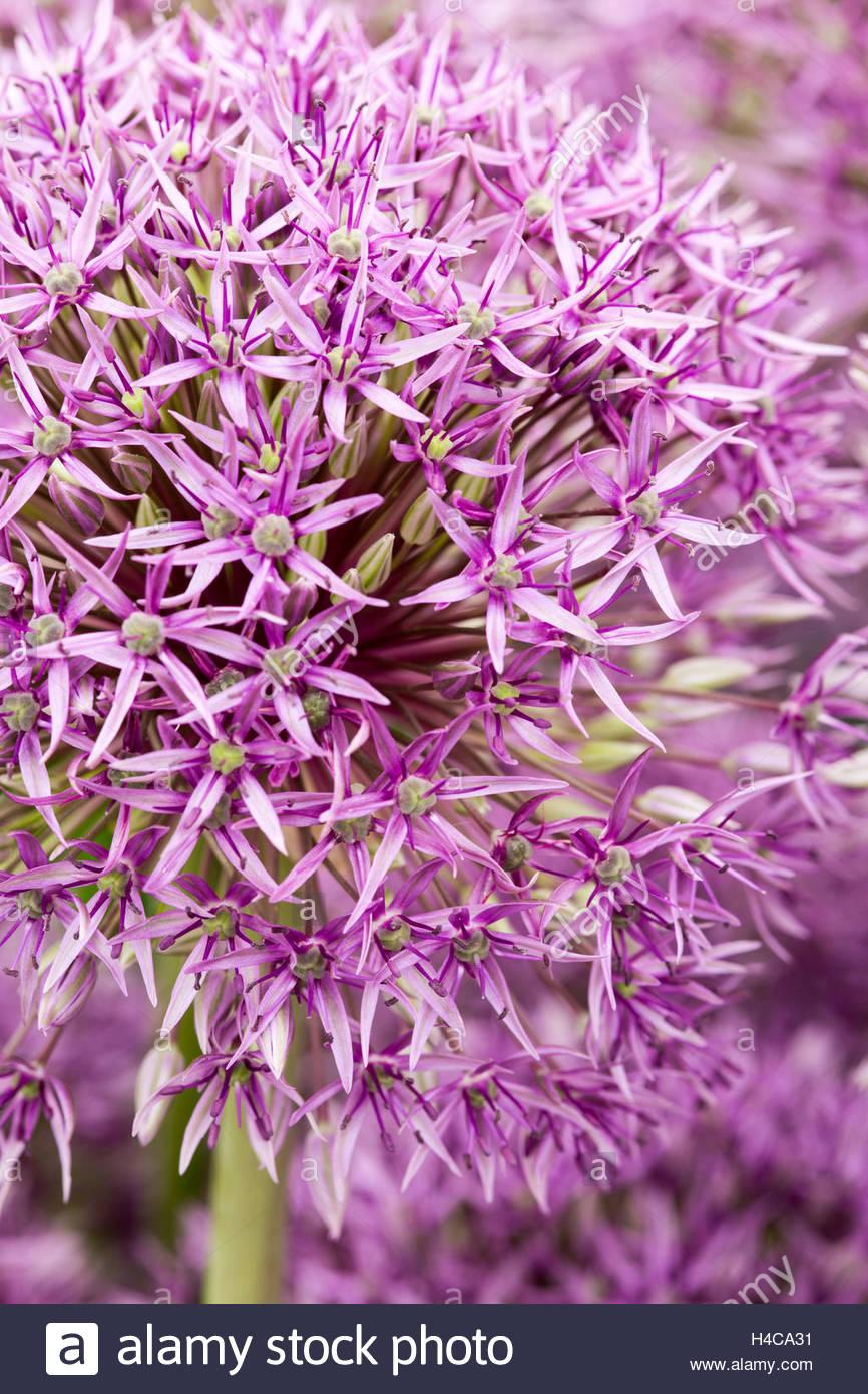 Allium 'Jackpot' - Stock Image
