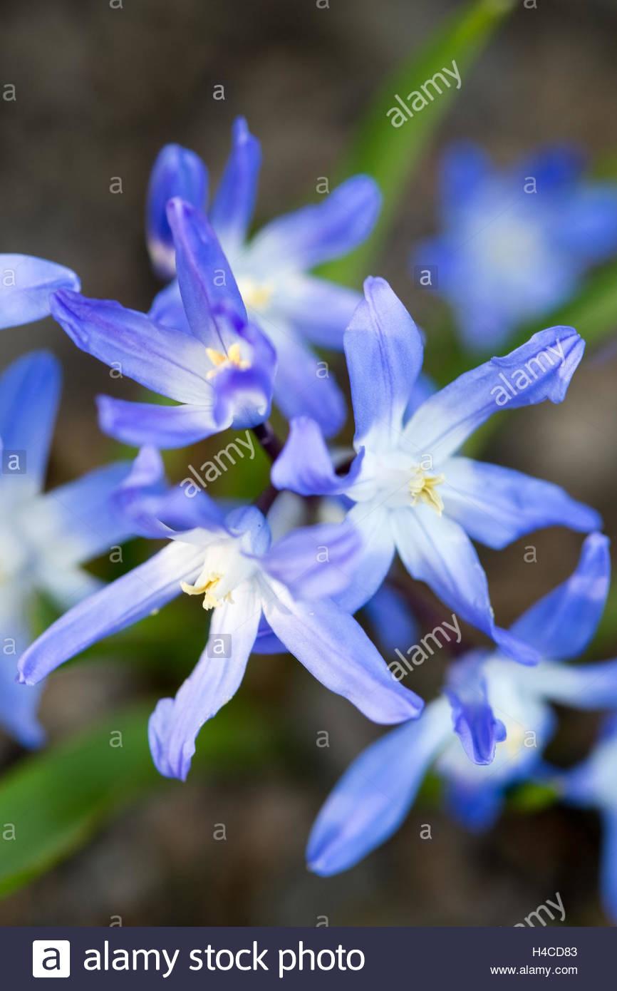 Chinodoxa luciliae (Glory of the snow) - Stock Image