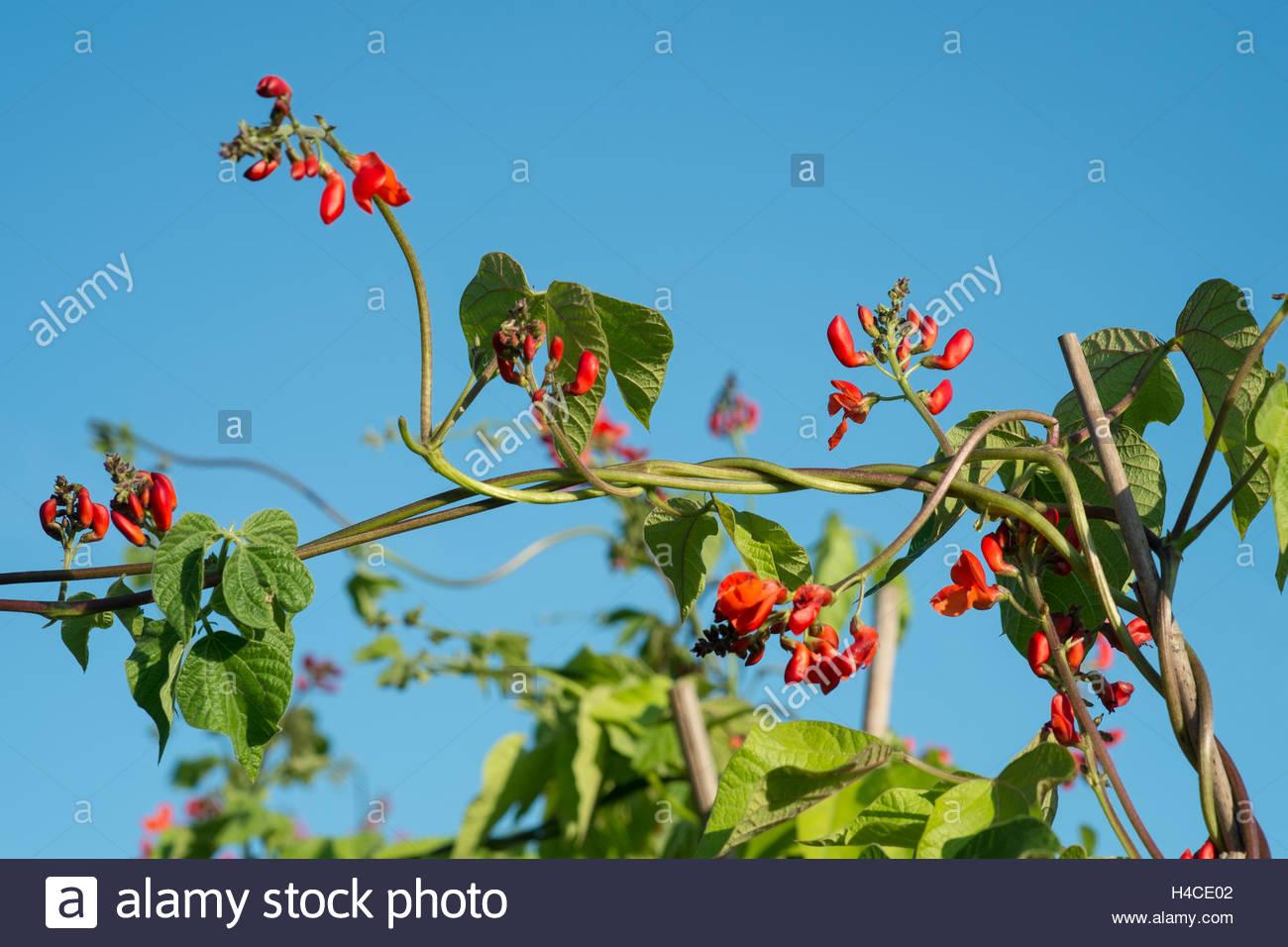 Runner bean flowers - Stock Image
