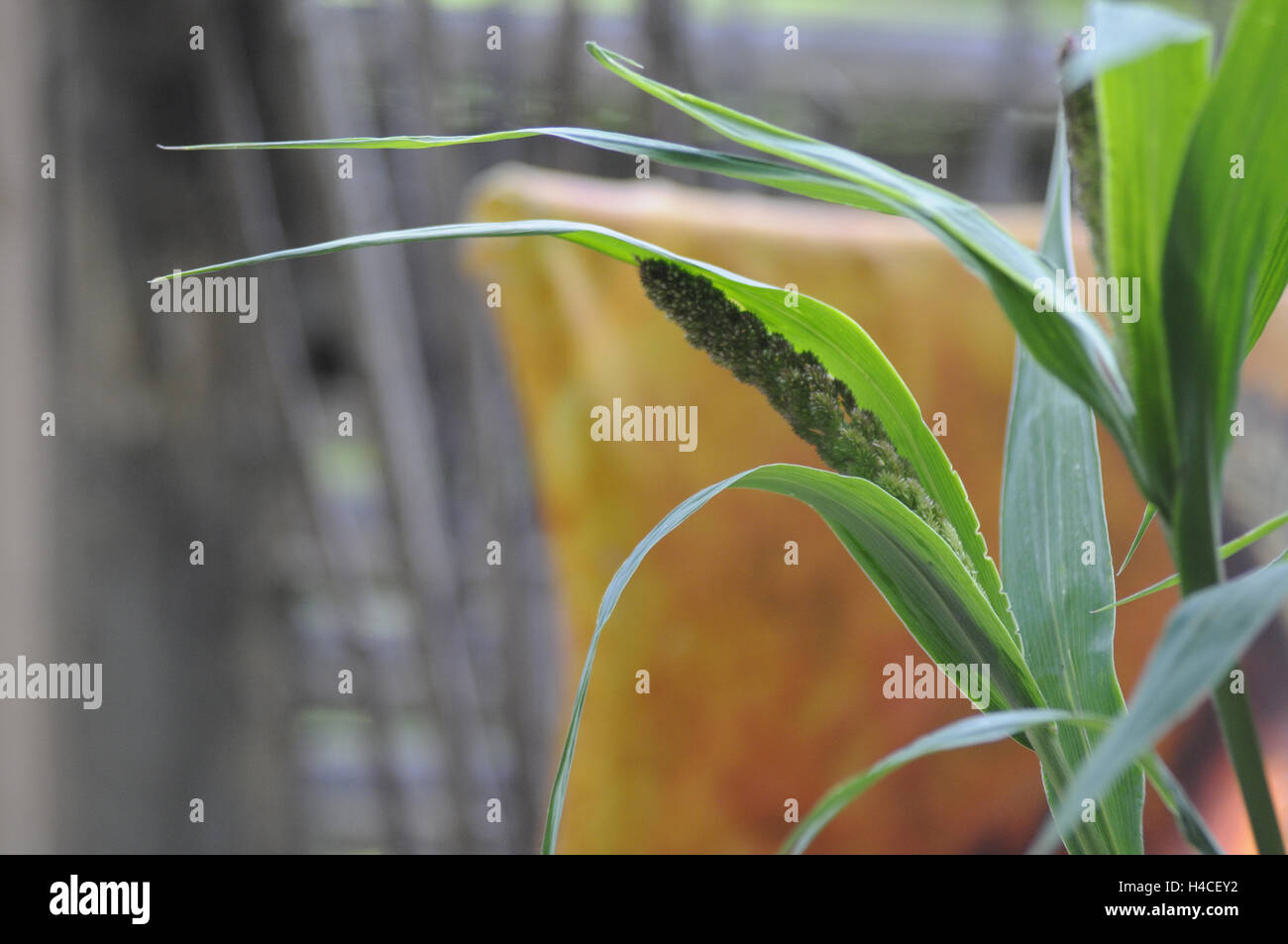 Reed grass in front of blurred background - Stock Image