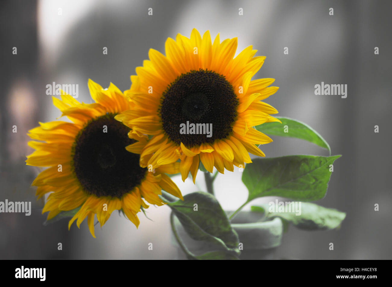 Two sunflowers in front of blurred background - Stock Image