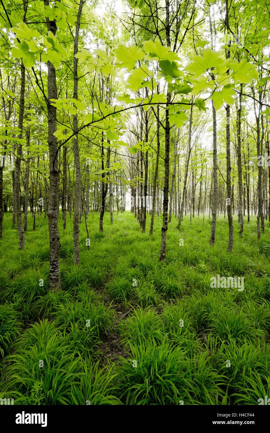 Germany, Bavaria, Augsburg, maple, forest, - Stock Image
