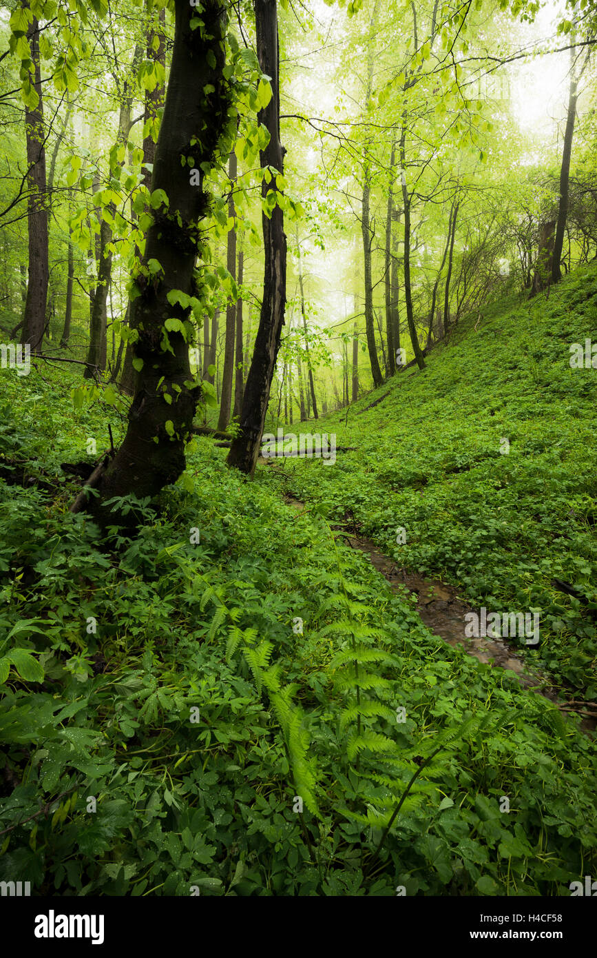 Germany, Bavaria, spring, Augsburg, Western Woods Nature Park, wood, beeches, beech forest, green, path, brook, Stock Photo