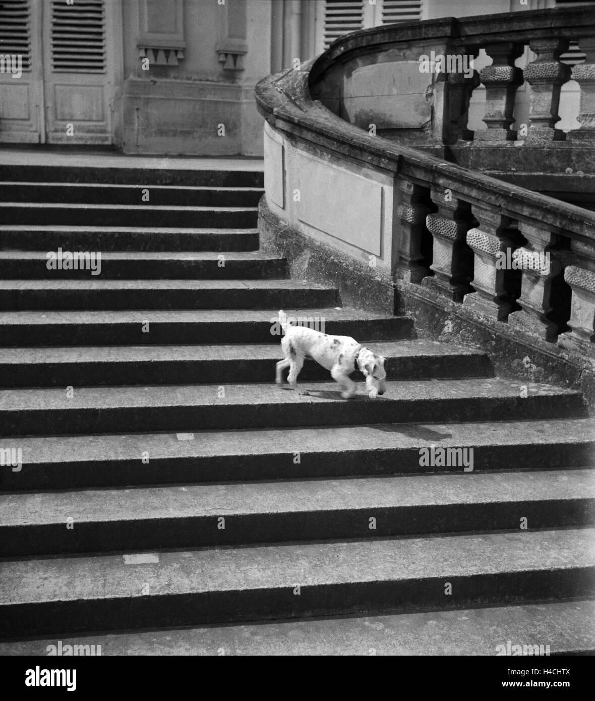 Ein Foxterrrier auf den Stufen von Schloß Solitude in Stuttgart, Deutschland 1930er Jahre. A fox terrier on - Stock Image