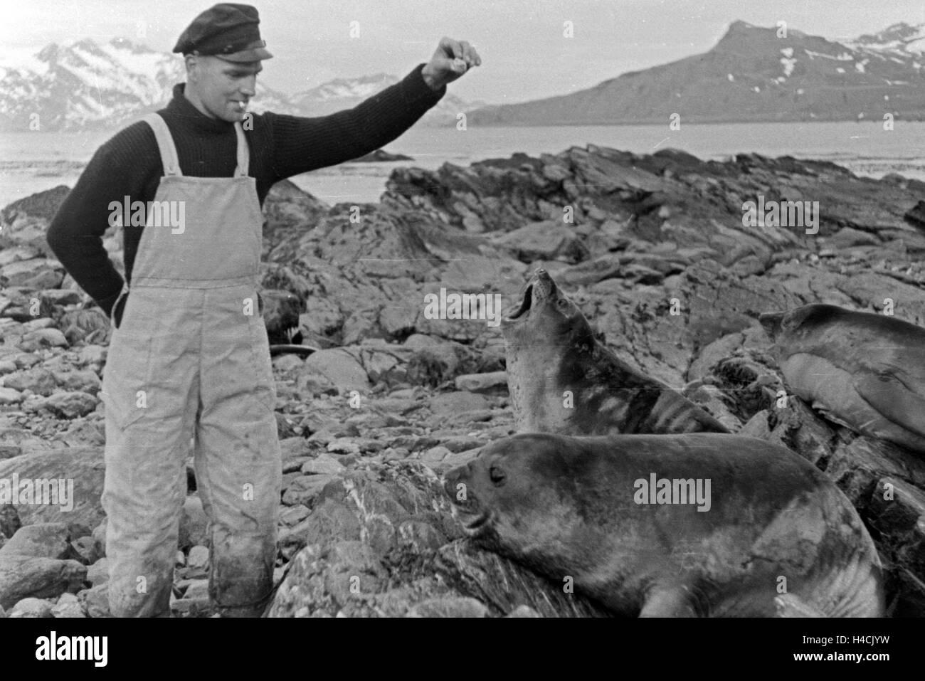 Einer der Männer der Besatung des Walfangfabrikschiffs 'Jan Wellem'füttert Walrösser auf - Stock Image
