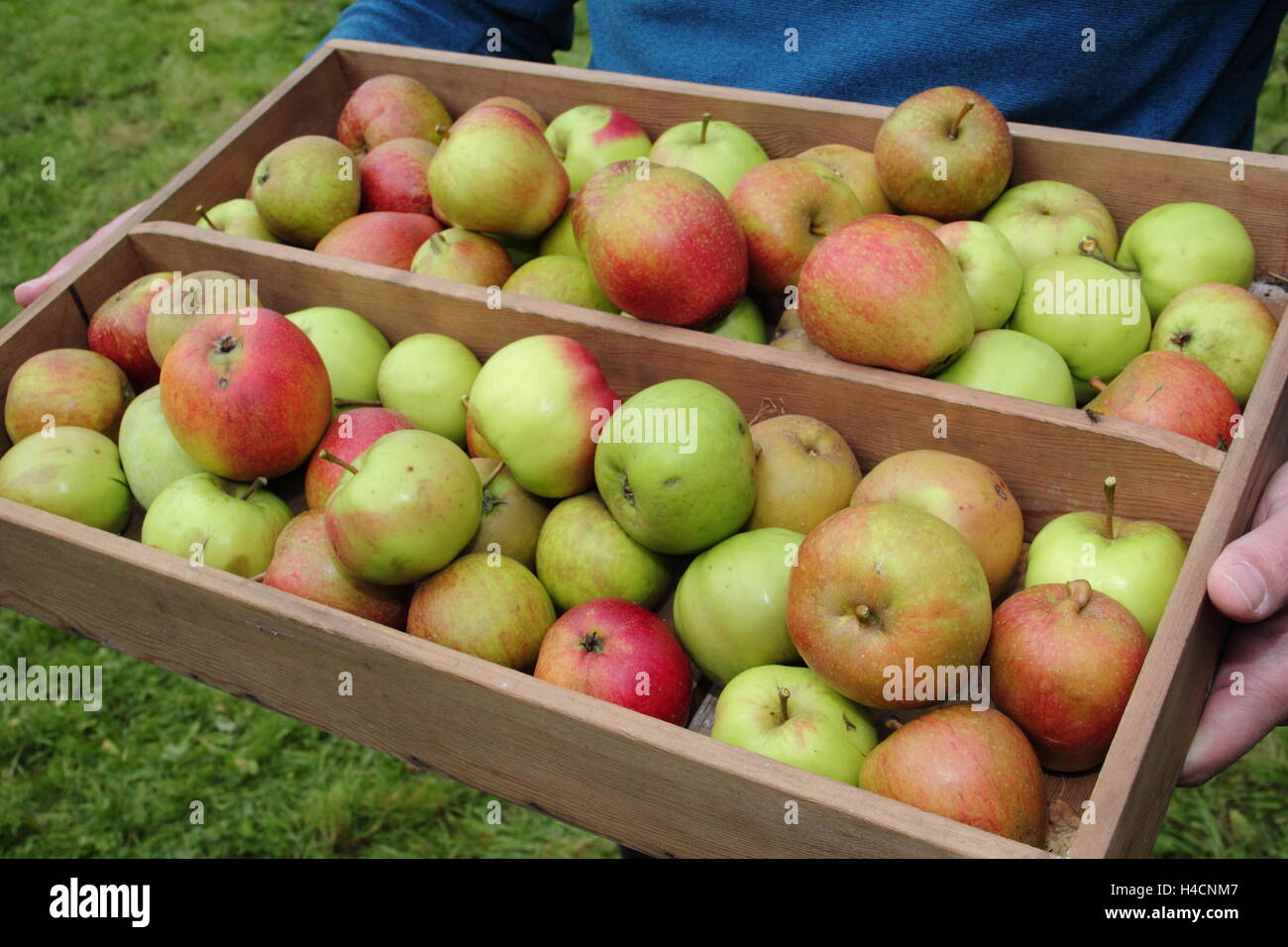 Freshly harvested English apples in a wooden crate carried through an English orchard on a bright autumn (October) - Stock Image