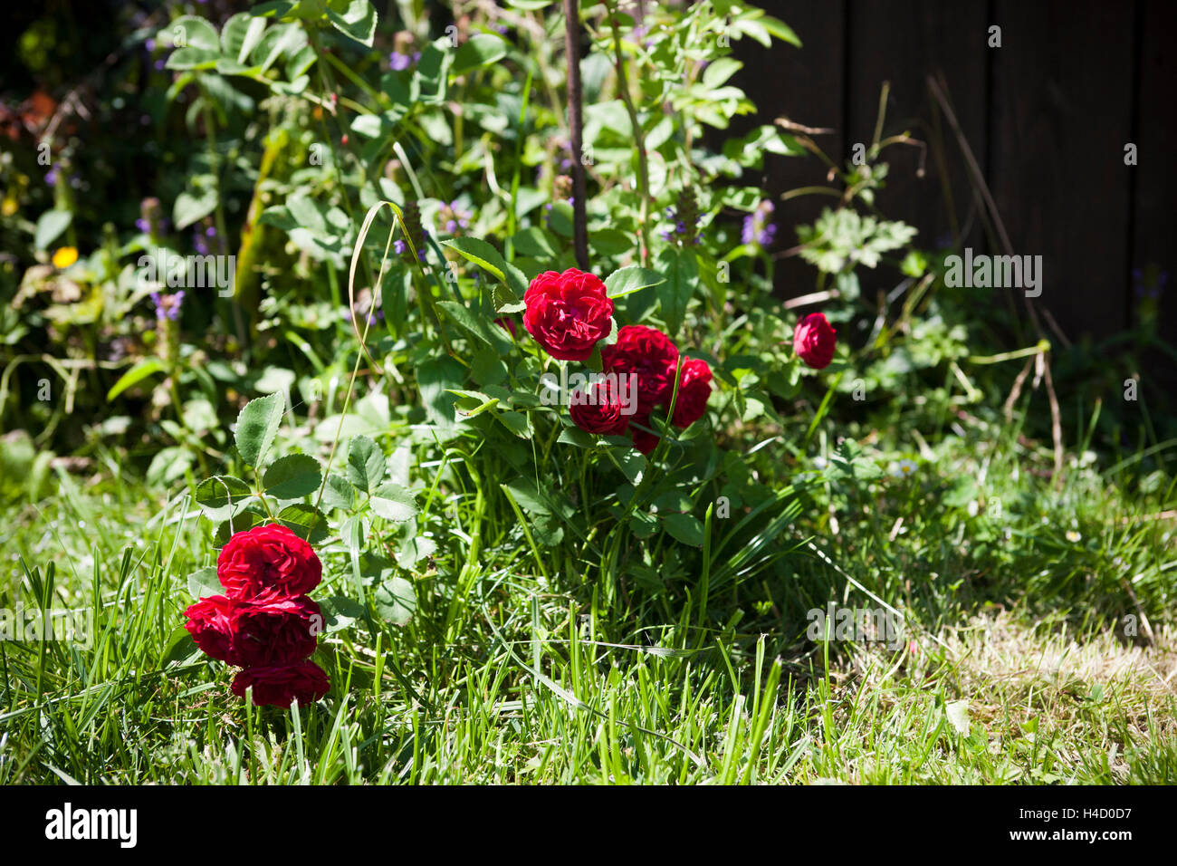 Red 'rambler rose' with blossoms - Stock Image
