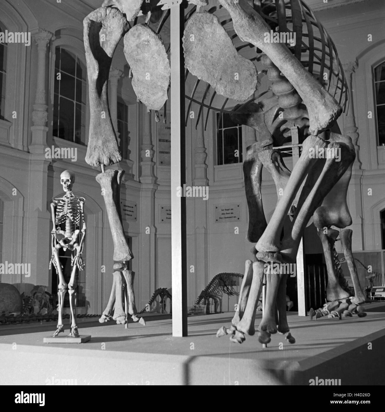 Ein menschliches Skelett im Größenvergleich zum Brachiosaurus brancai im Naturkunde Museum Berlin, Deutschland - Stock Image