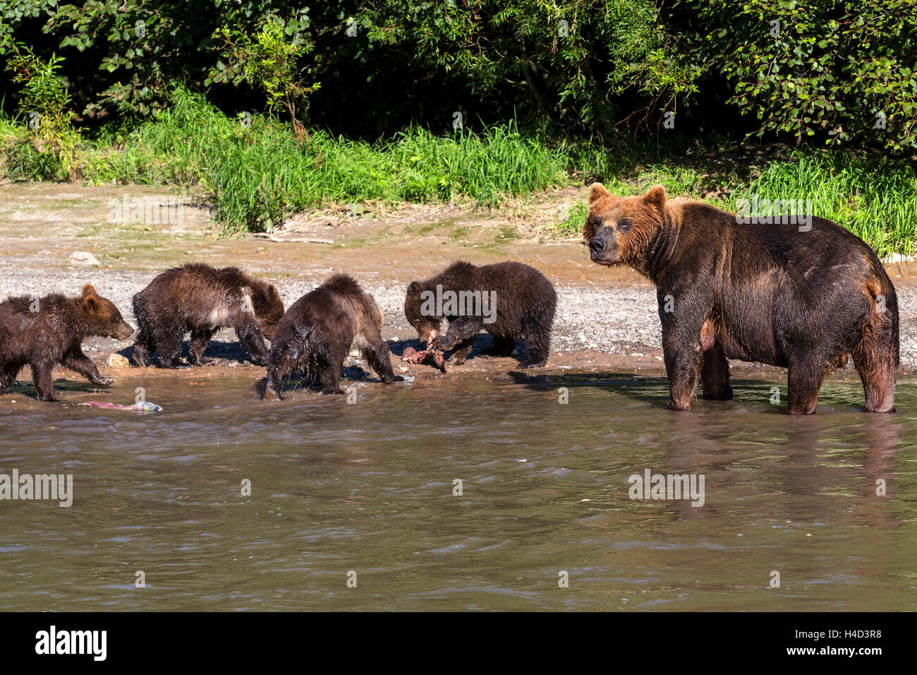 View of a bear with cubs go to a river bank fishing for salmon in Kamchatka region, Russia - Stock Image