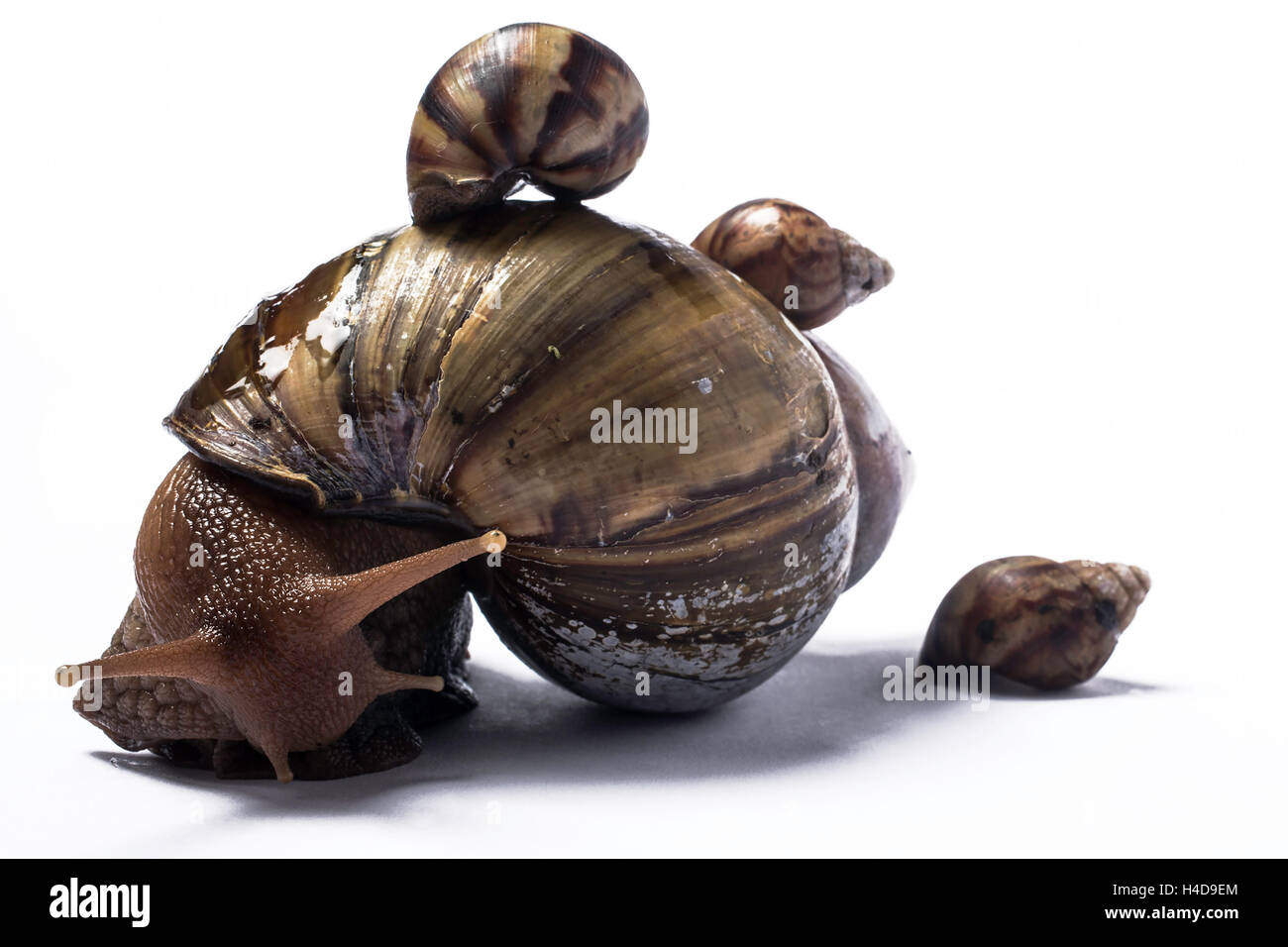 African giant snail with one baby on her shell and one at the back - Stock Image