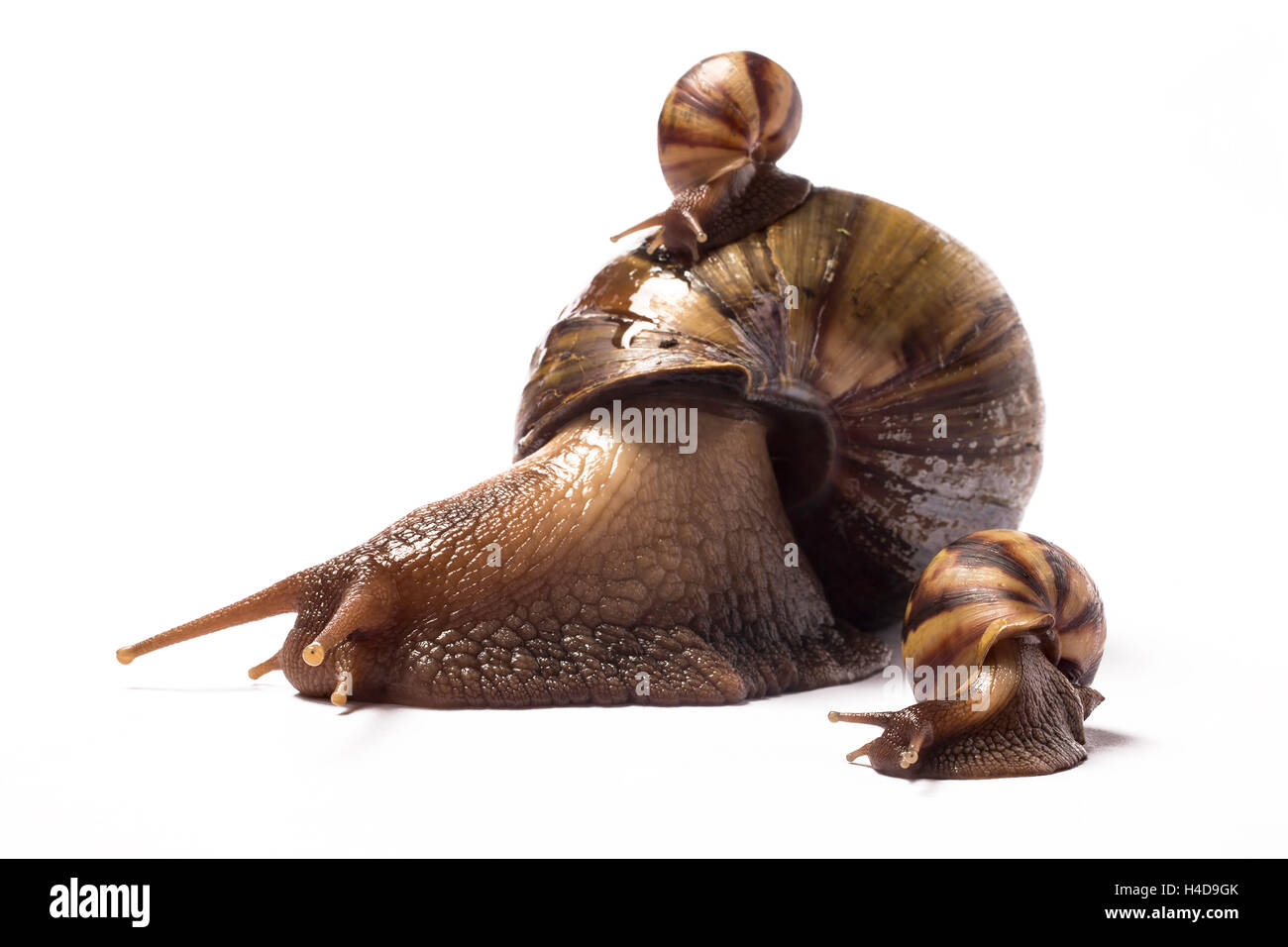 African giant snail with one baby on her shell and another baby by her side - Stock Image