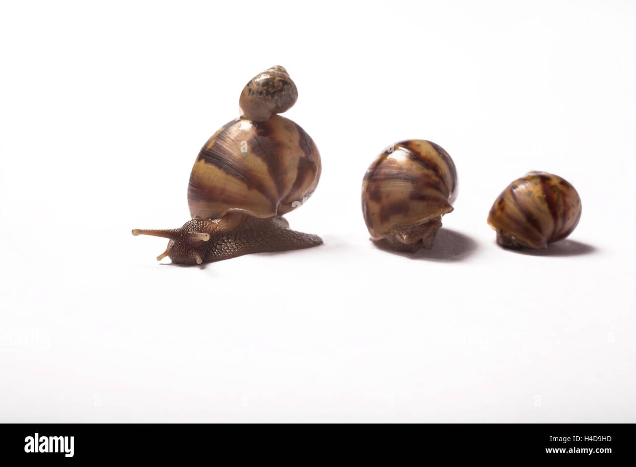 three little African giant snails with one baby giant African snail on the shell - Stock Image