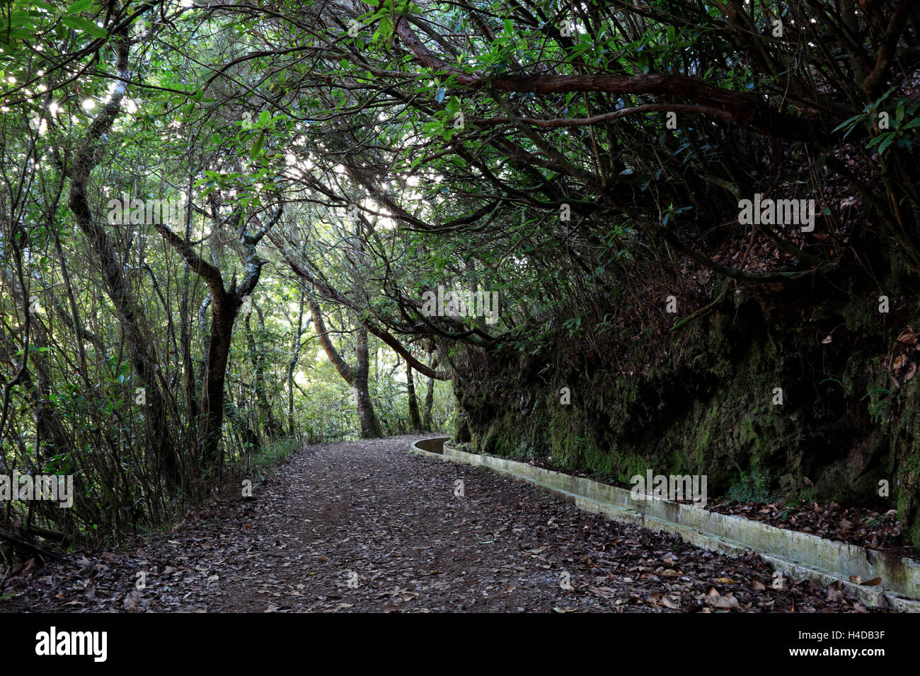 Footpath in the bay leaf wood, along Levada Wasserleitung, Madeira - Stock Image