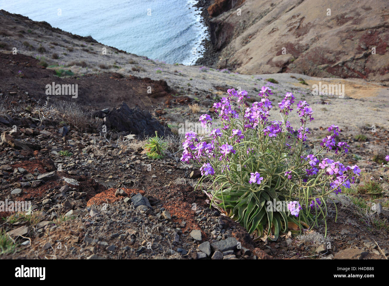 Madeira, in Cap Ponta de Sao Lourenco, scenery at the eastern end the island. In the foreground of a blossoming - Stock Image