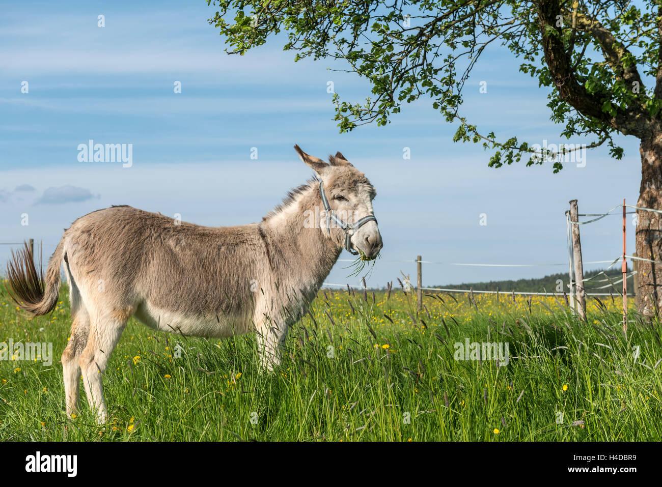 Weiten-Gesäß. Hessen, Germany, domestic donkey on pasture Stock Photo