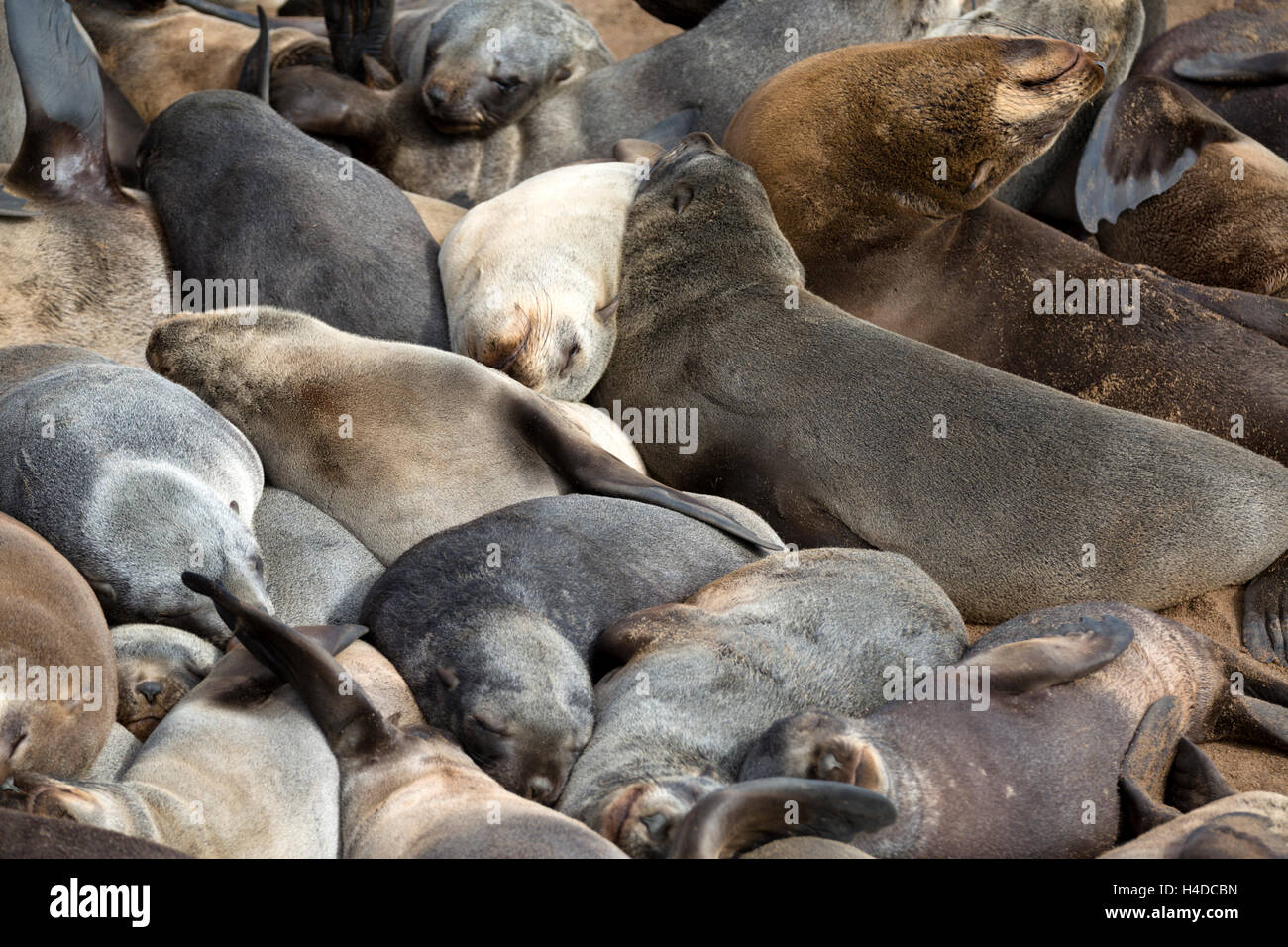 Brown seal colony on Cape Cross in Namibia, South Africa - Stock Image