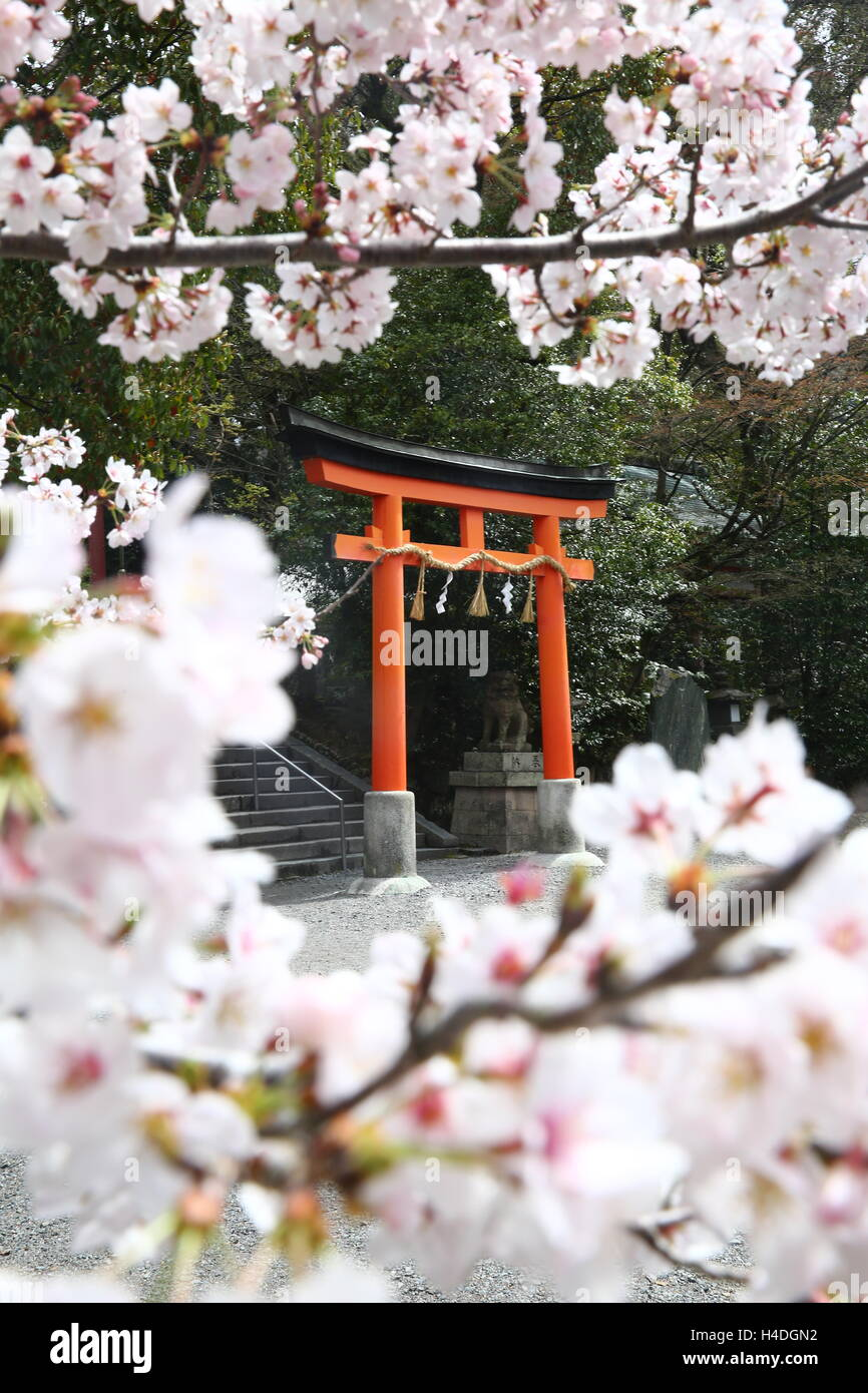 Cherry blossoms encircle a Japanese torii gate - Stock Image