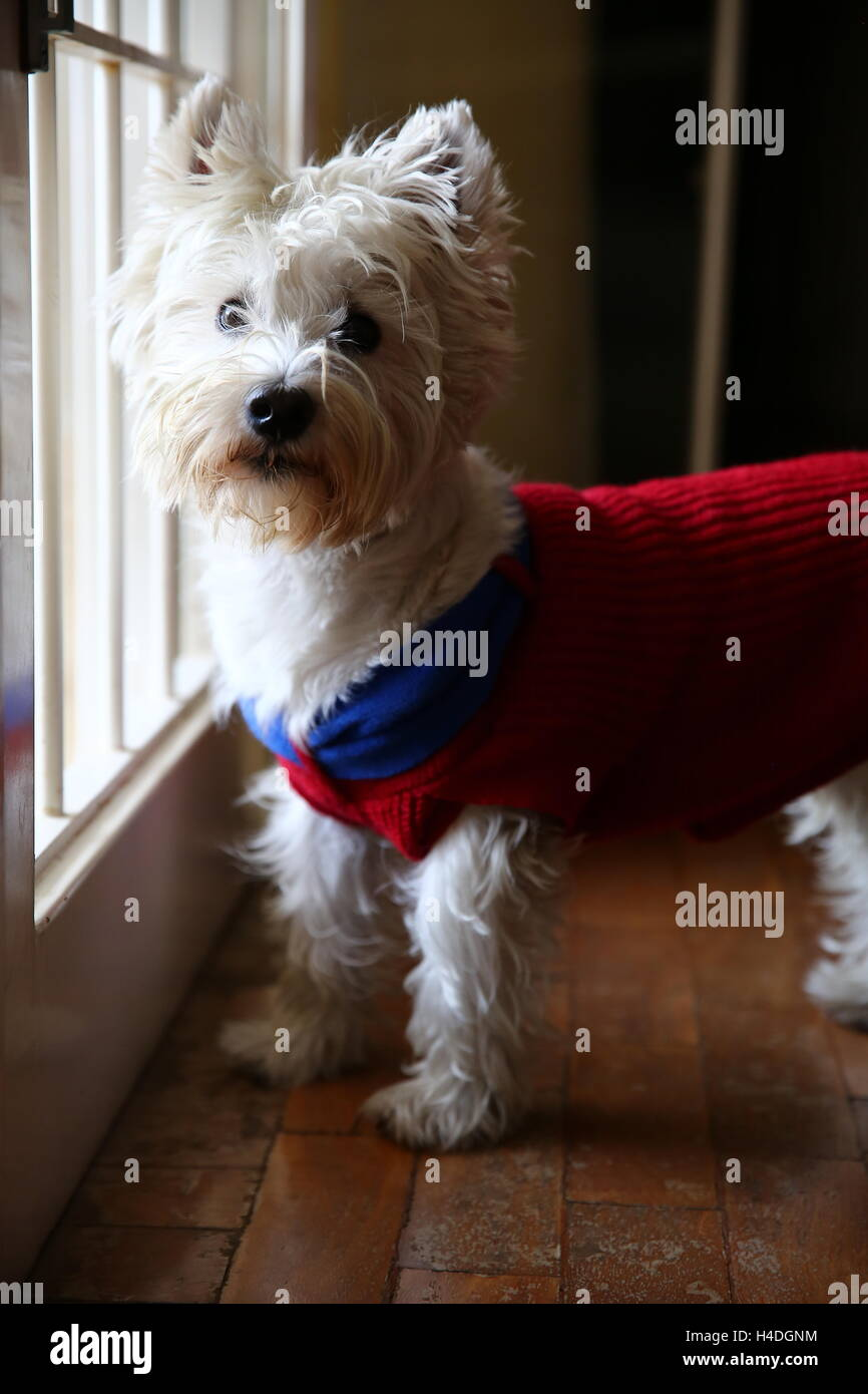 Maltese wearing a jumper - Stock Image