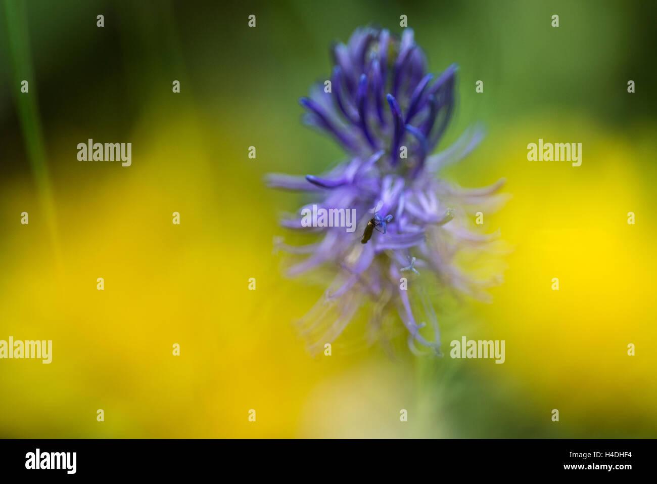 Glockenblume, Makro | Campanulaceae, Macro - Stock Image