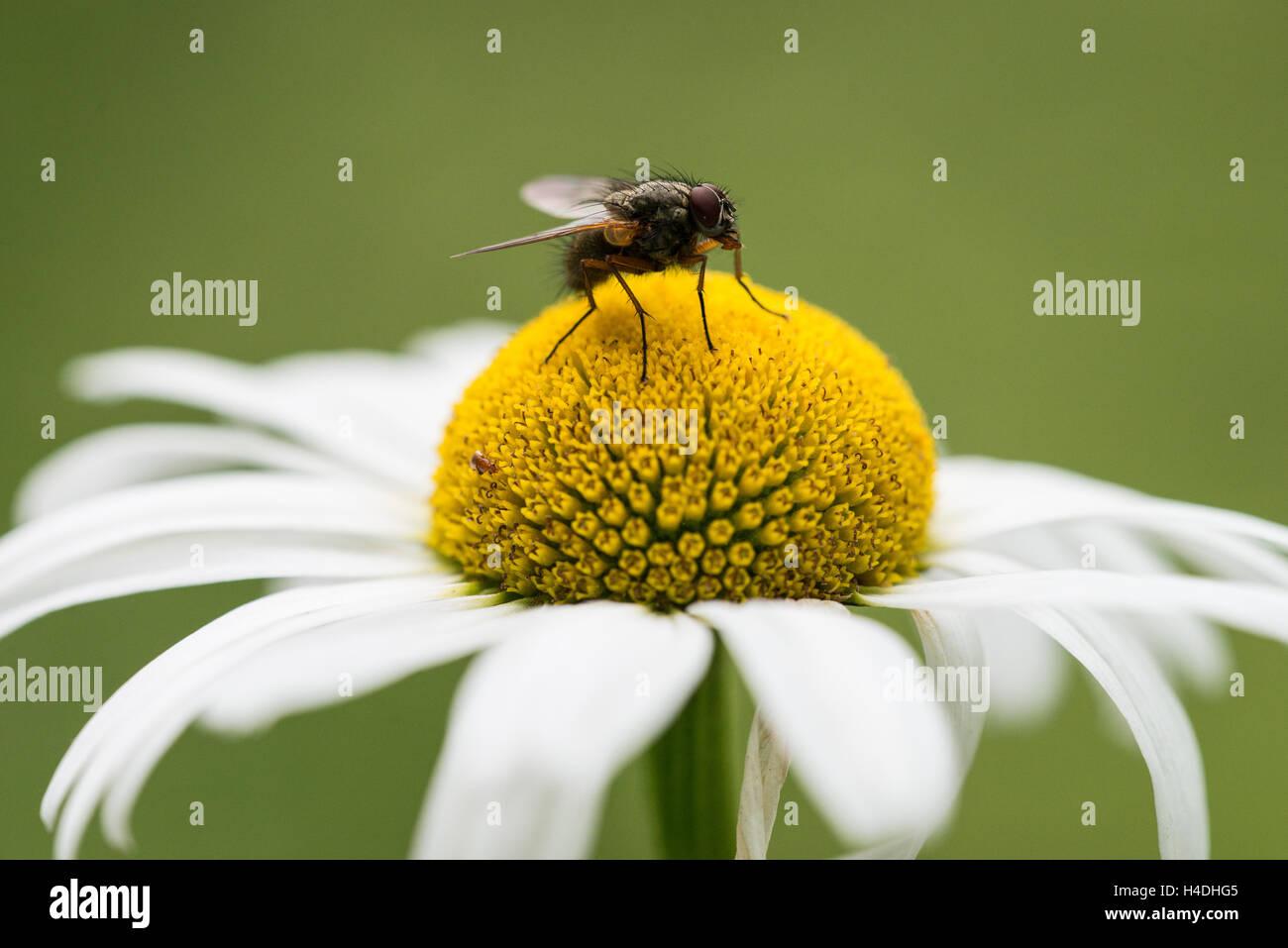 Gänseblümchen, Makro | marherite, macro - Stock Image