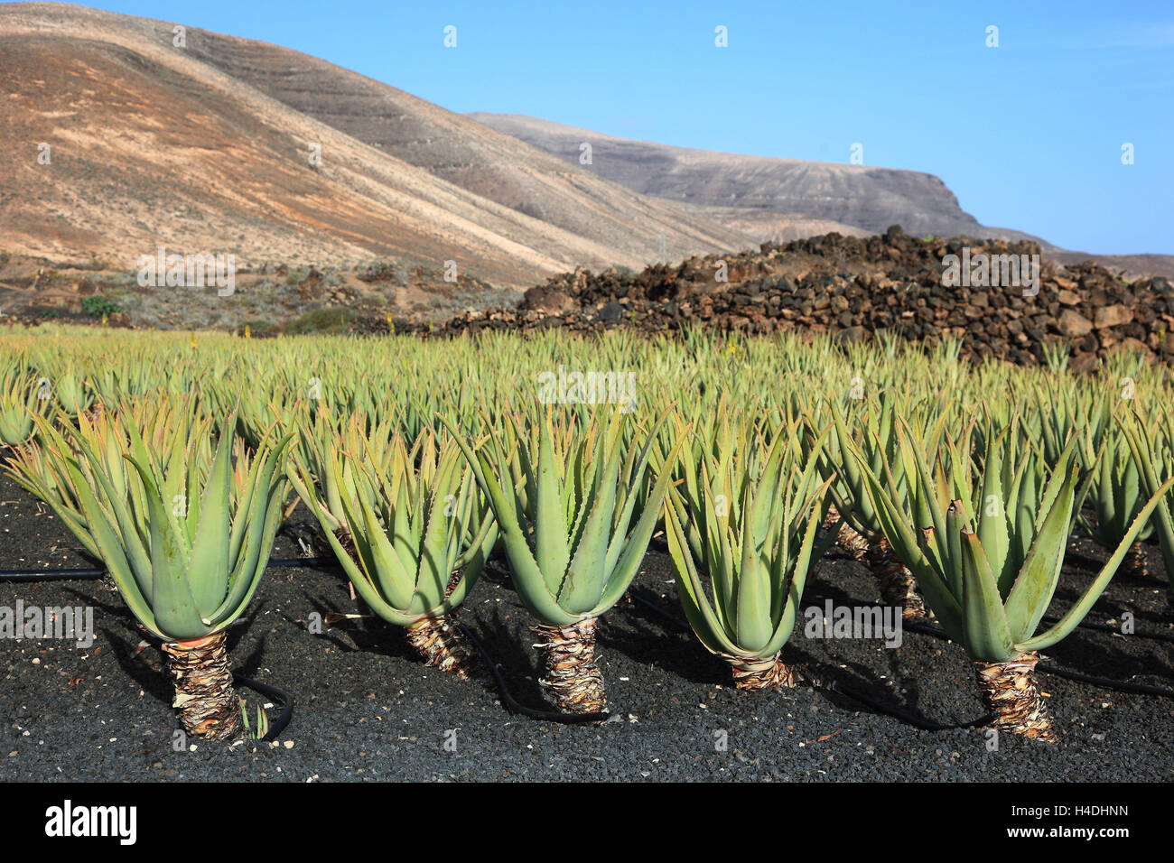 aloe vera plantation at orzola stock photos aloe vera plantation at orzola stock images alamy. Black Bedroom Furniture Sets. Home Design Ideas