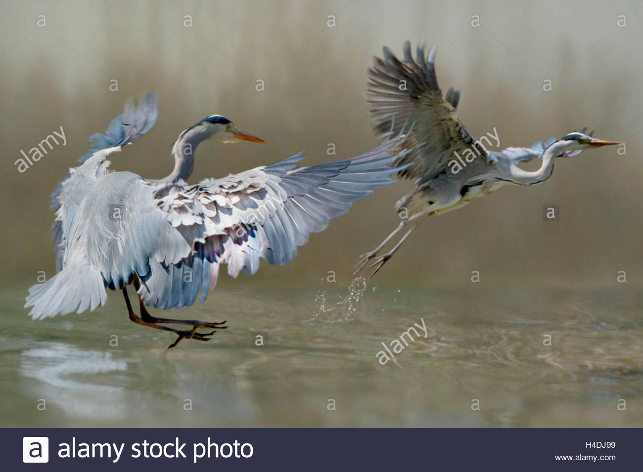 Grey heron, Ardea cinerea, common heron, fight, rival - Stock Image