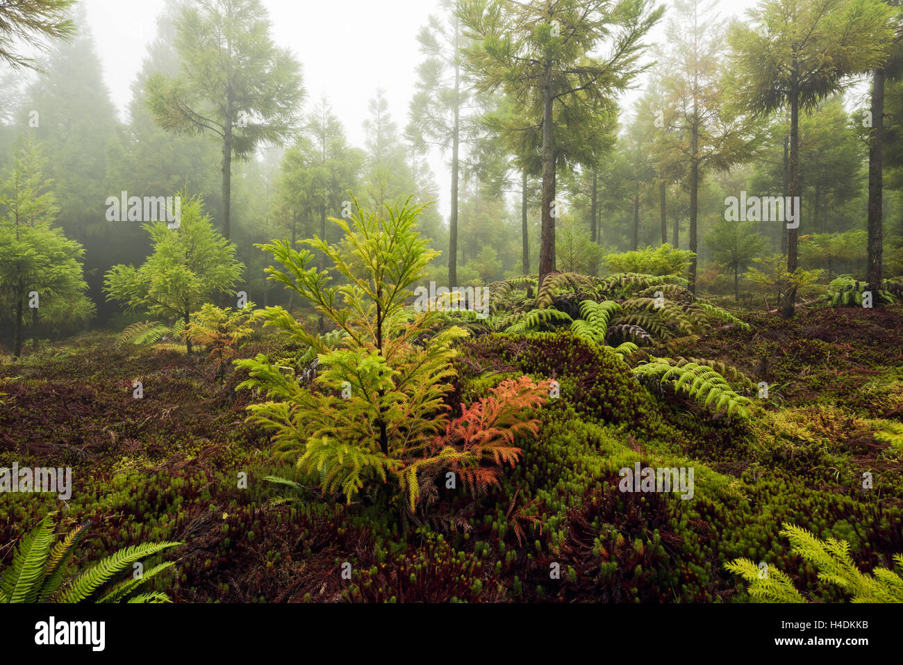 Wood on Sao Miguel, the Azores, Portugal - Stock Image
