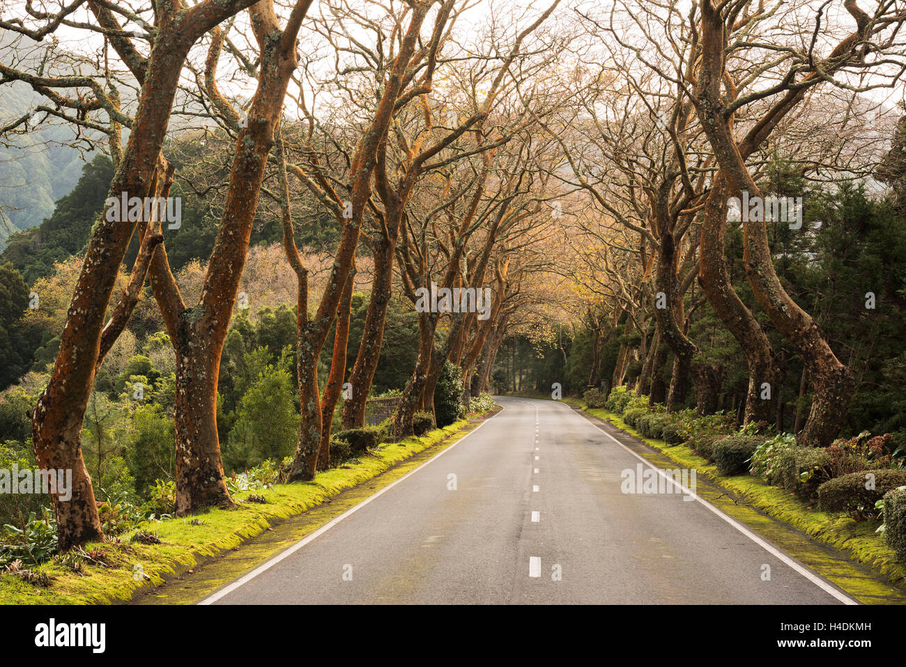 Avenue with Furnas, Sao Miguel, the Azores, Portugal - Stock Image