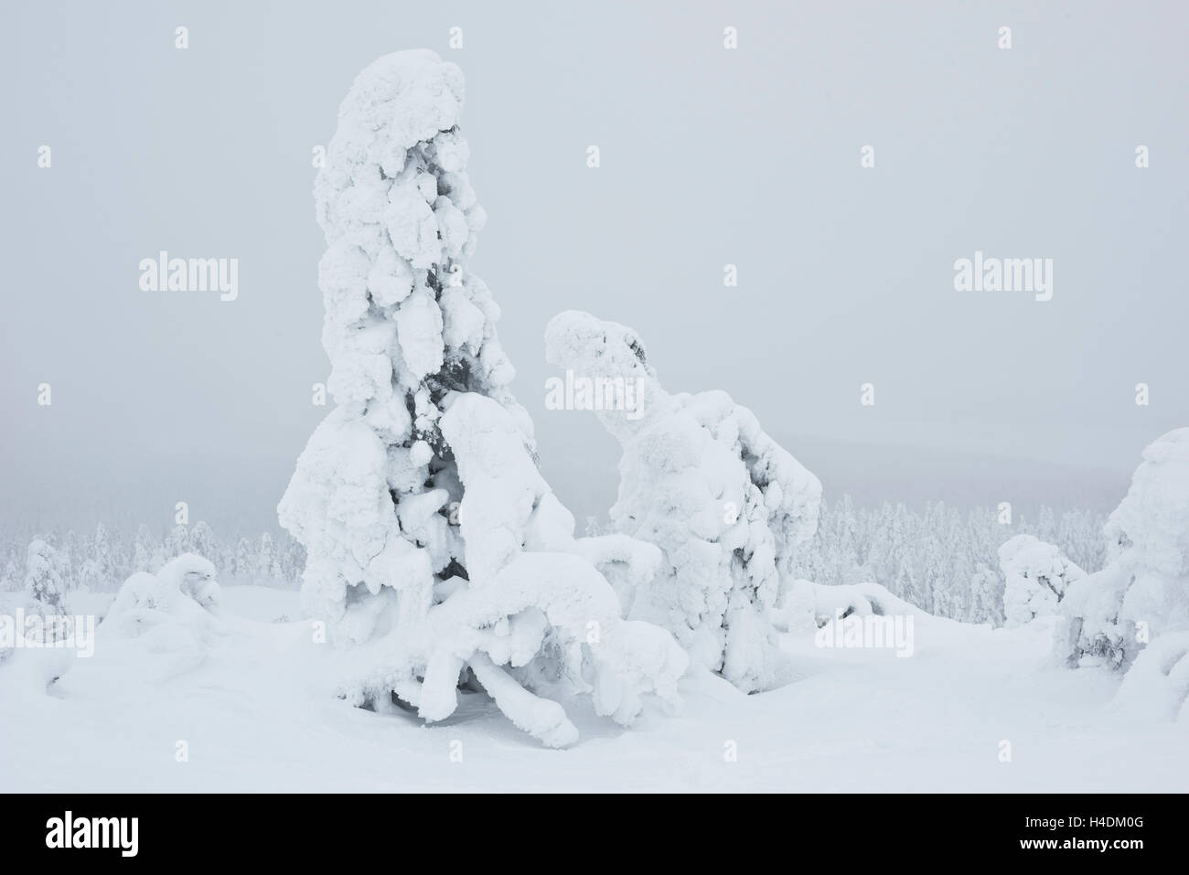 Iced up firs in Lapland, Finland - Stock Image