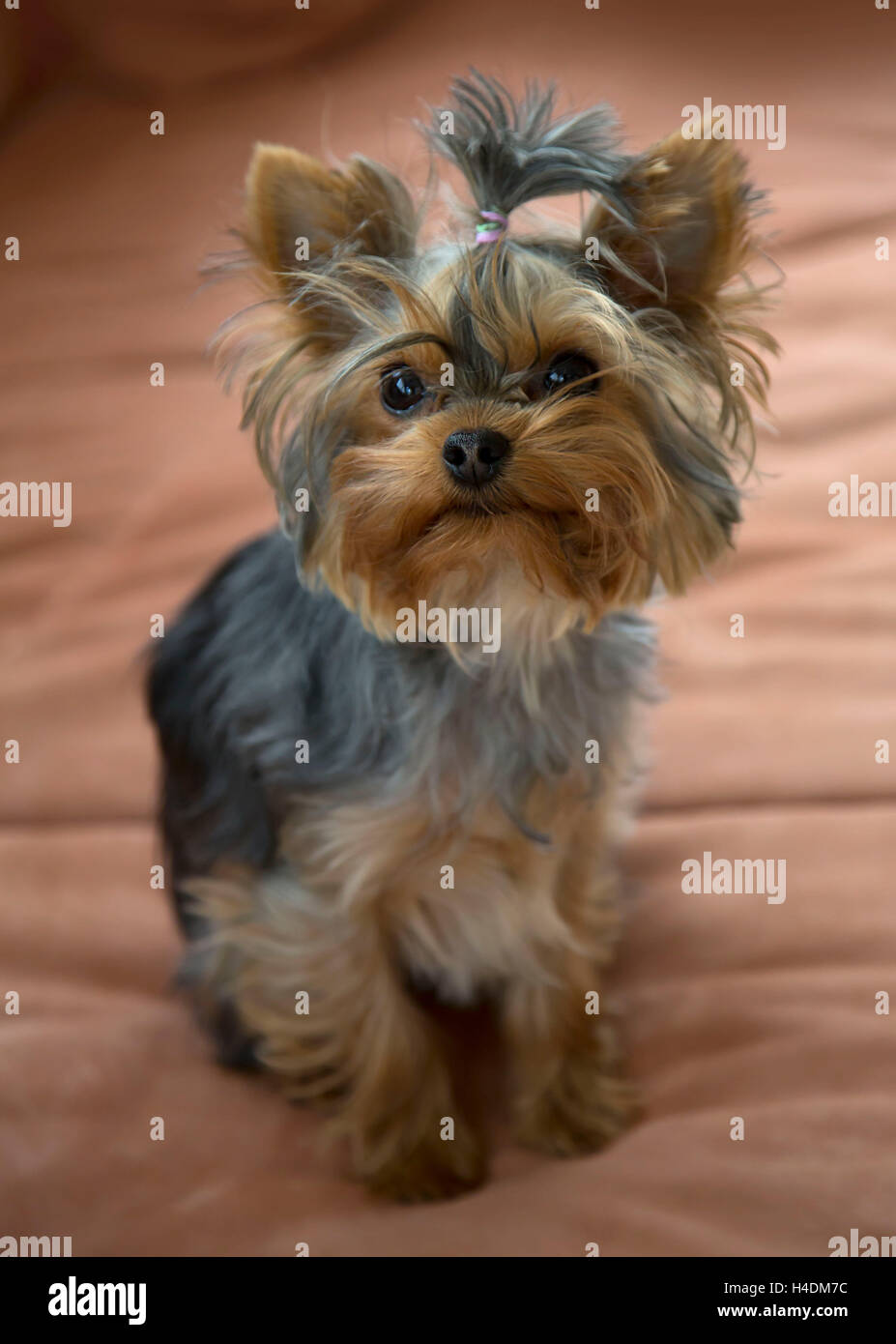 Yorkshire Terrier Mini Toy Female Sits On Sofa Stock Photo