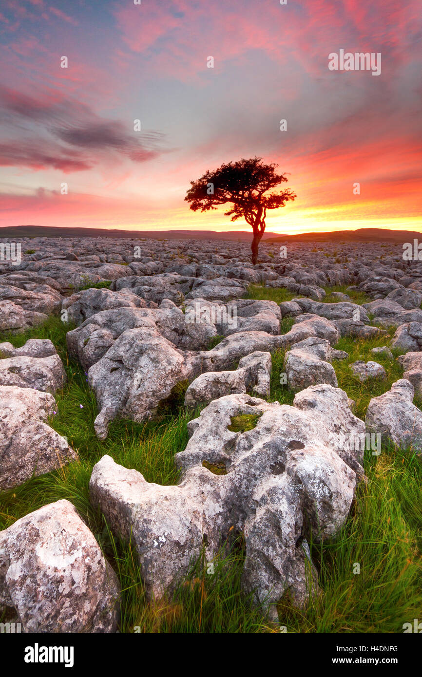 Lone tree silhouetted against a firey sunset at the limestone pavement at Conistone in the Yorkshire Dales - Stock Image