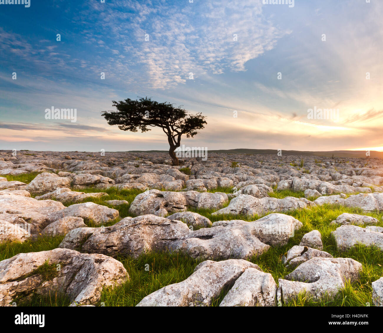 Lone tree silhouetted against a sunset sky with mackerel clouds at the limestone pavement at Conistone in the Yorkshire - Stock Image