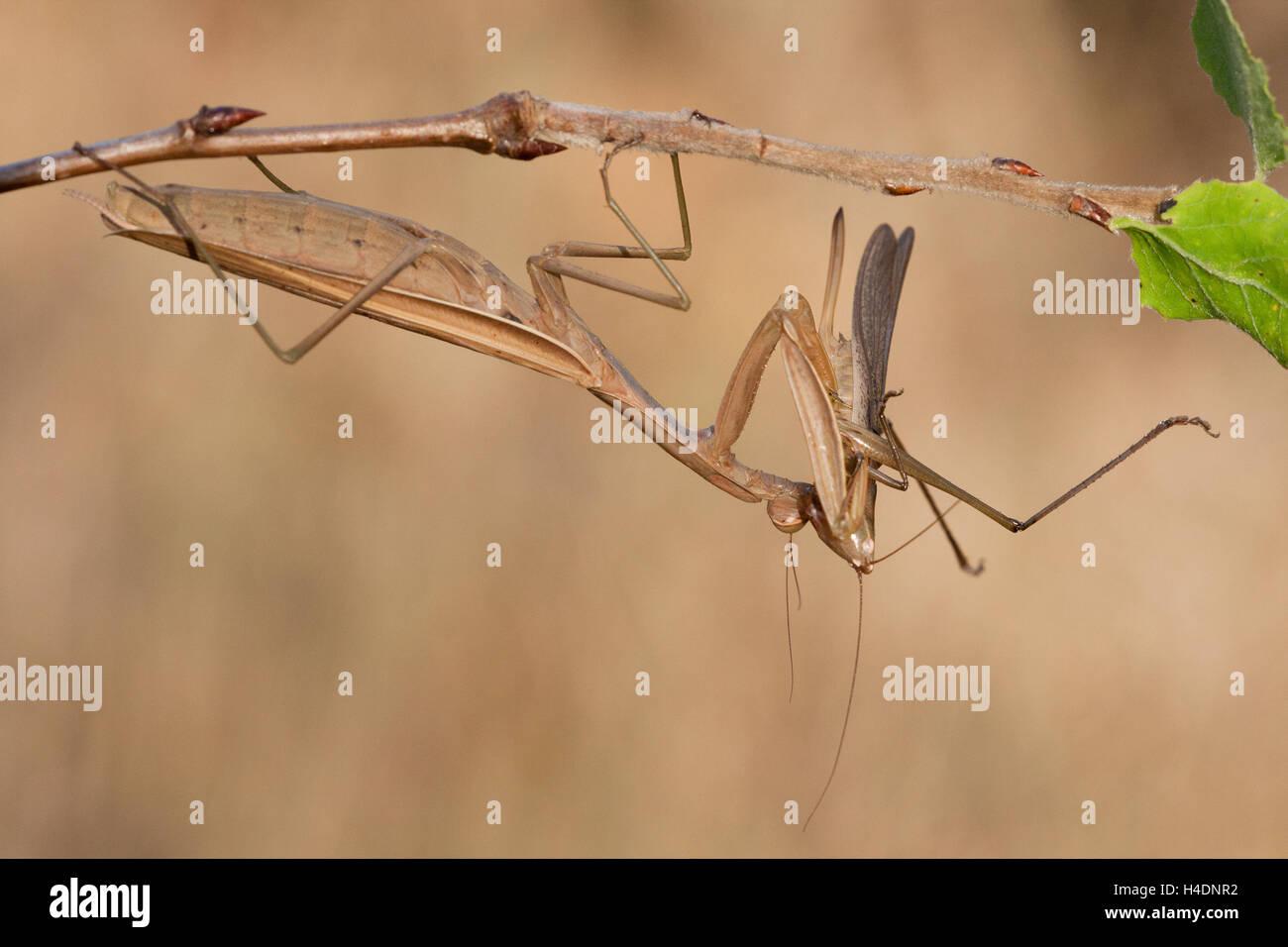 Preying mantis (Mantis religiosa) is eating a large conehead grasshopper (Ruspolia nitidula) - Stock Image