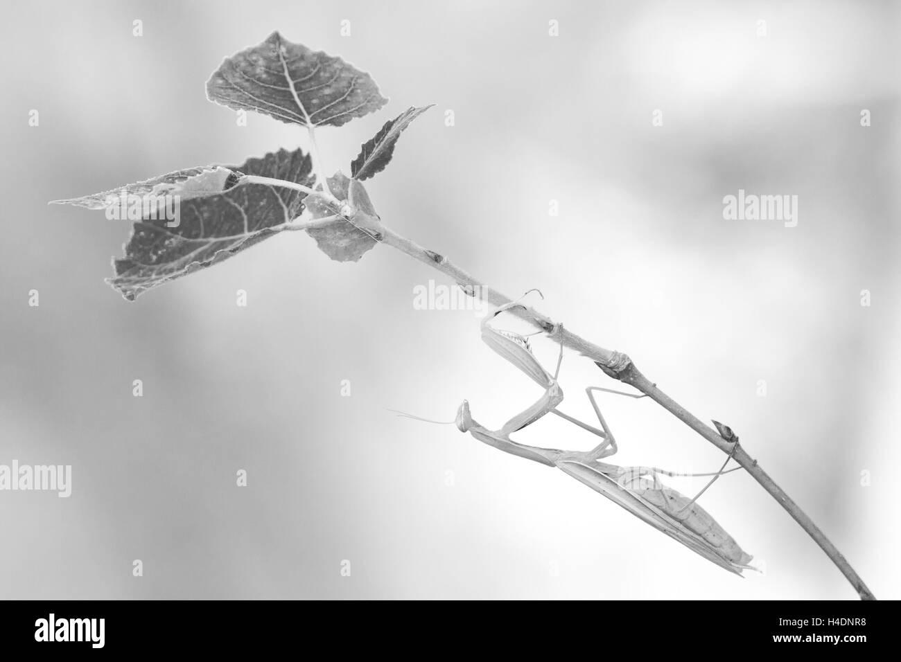 Preying mantis (Mantis religiosa) black and white - Stock Image