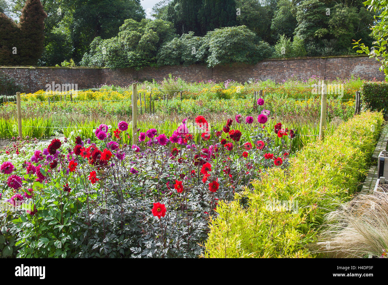 A bed of dahlias in a walled garden at Heligan UK - Stock Image