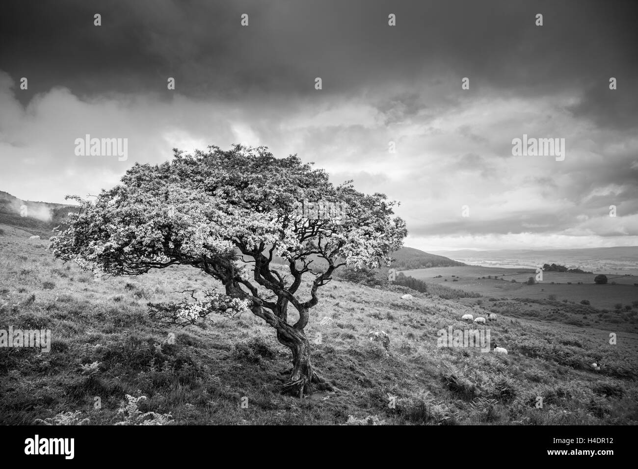 Windswept twisted Hawthorn tree under a stormy summer sky in Northumberland above Rothbury on the edge of the Simonside - Stock Image