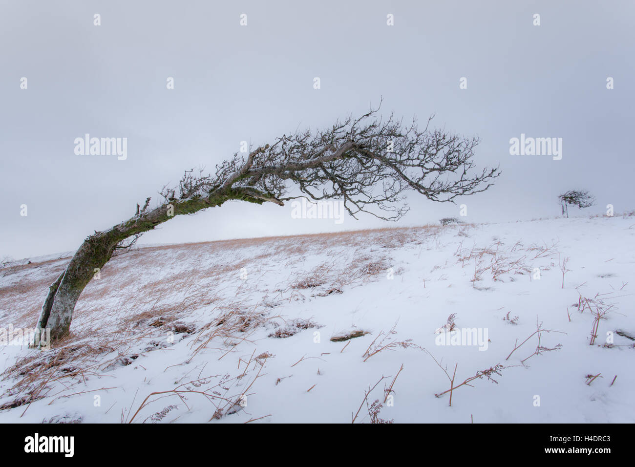 Lone wind swept tree in the snow just after snow fall on Great Mell fell in the English Lake District near Ullswater - Stock Image