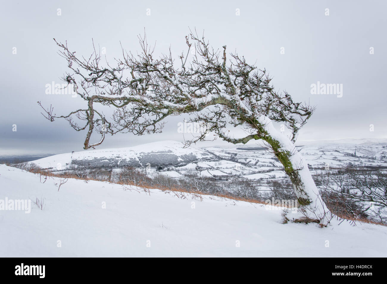 Lone twisted tree in the snow just after snow fall on Great Mell fell in the English Lake District near Ullswater - Stock Image