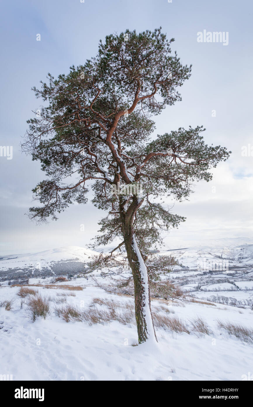 Lone scots pine tree in the snow just after snow fall on Great Mell fell in the English Lake District near Ullswater - Stock Image