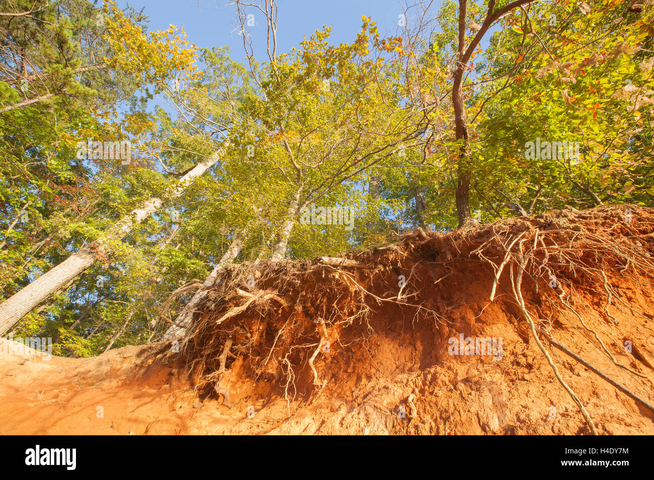 A forest scene with exposed roots in Troutman, North Carolina. - Stock Image