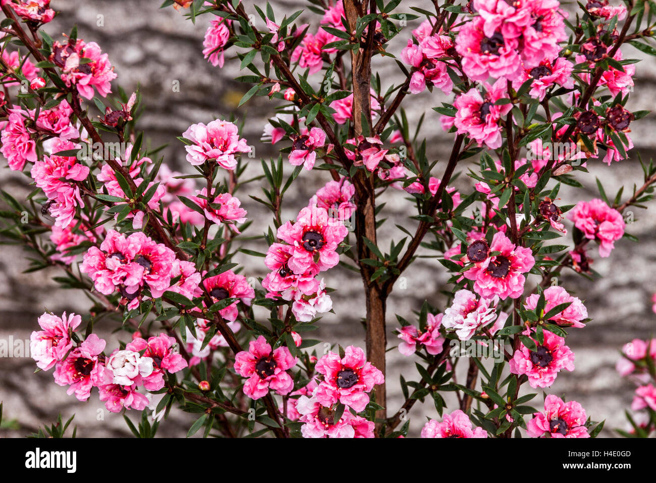 Tiny pink flowers stock photos tiny pink flowers stock images alamy close up abstract view of tiny pink flowers of the australian tea bush stock image mightylinksfo
