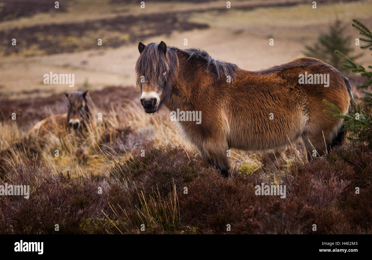 A pair of Lakeland ponies in the heather at winter time on the moors and fells of the English Lake District - Stock Image