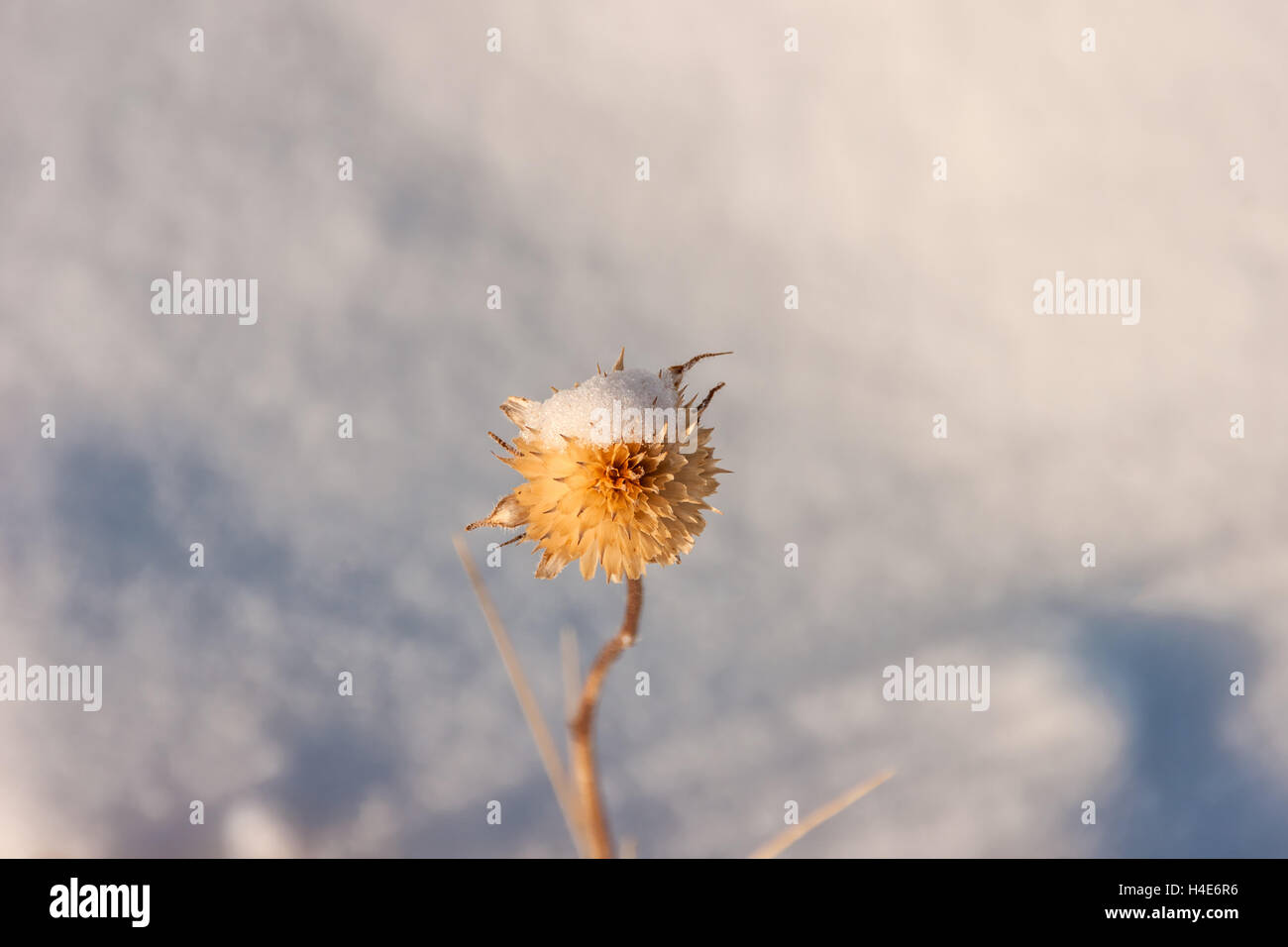 Dead blossom with snow on it - Stock Image