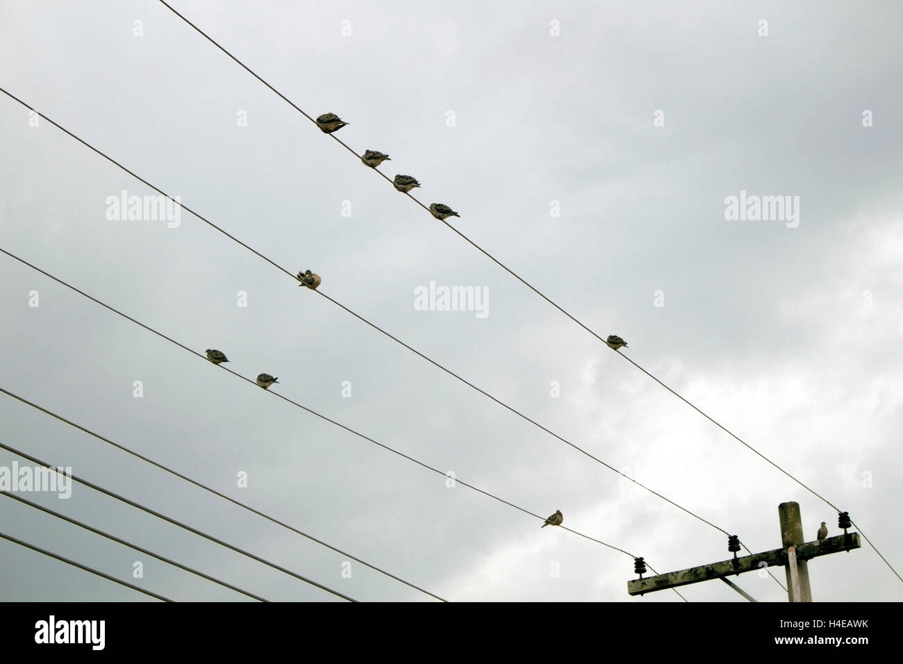 Birds On Phone Wires Stock Photos & Birds On Phone Wires Stock ...