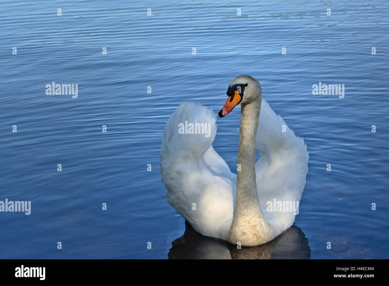 Frontal view of mute swan swimming in 'busking' pose, with wings up. - Stock Image