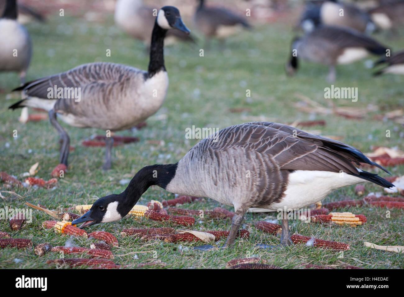 Canada goose (Branta canadensis) feeding on corn at the Upper Canada Migratory Bird Sanctuary - Stock Image